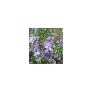 Romarin vert bio en pot décoratif de 5 L 416261