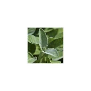Sauge officinale bio en pot décoratif de 5 L 416264