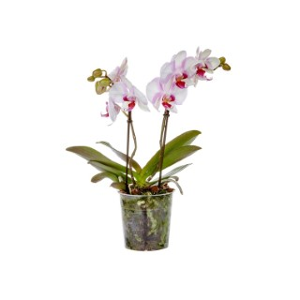 Phalaenopsis mymonro make up en pot Ø 12 cm 417305