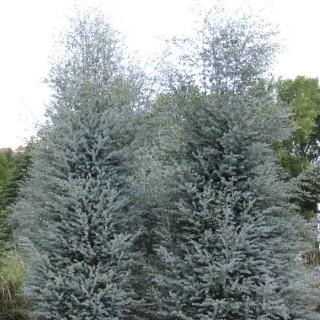 Eucalyptus Gunnii Azura bleu en pot de 20 L 418372