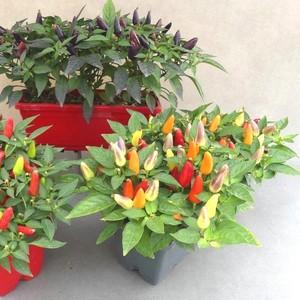 Piment décoratif orange en jardinière de 25 cm 419471