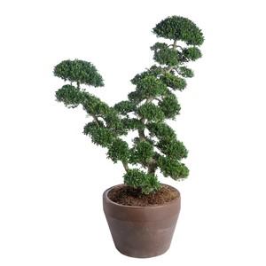 Ilex Crenata Kinme (Houx japonais) Bonsaï 120x140 en pot de 70 L vert 419760