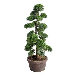 Ilex Crenata Kinme (Houx japonais) Bonsaï 100x125 en pot de 33 L vert 419761