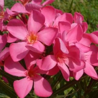 Nerium Oleander Papa Gambetta - Pot de 35L 419773