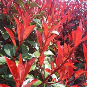 Photinia X Fraseri Carré rouge palissé en pot de 45 L 419779