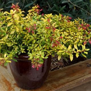 Escallonia Golden Carpet jaune en pot de 4 L 419831