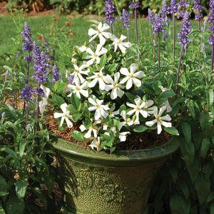 Gardenia Pinwheel blanc en pot de 4 L 419836