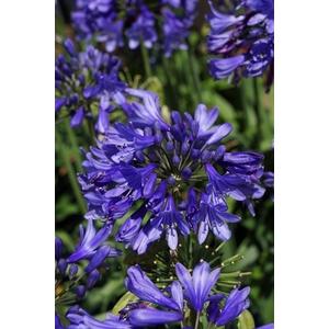 Agapanthe X Ever Sapphire Bleu en pot de 4 L 419856