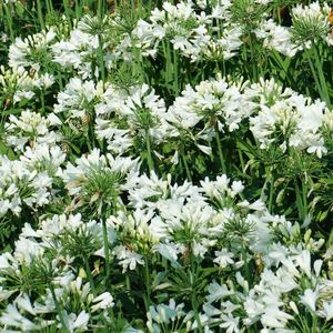 Agapanthe X Ever White Blanc en pot de 4 L 419857