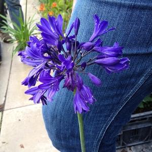 Agapanthe Blue Jeans bleue en pot de 4 L 419858