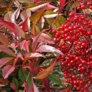 Nandina Domestica rouge 60/80 cm en pot de 7,5 L 420083