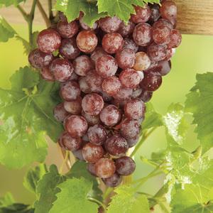 Vigne Chasselas rose Le pot de 2 litres 424278