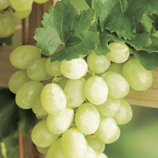 Vigne Italia Le pot de 2 litres 424302