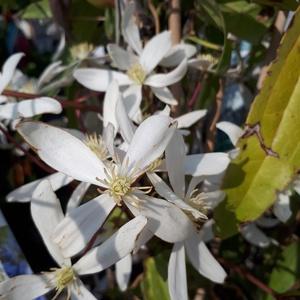 Clématite Armandii (Clematis) blanc 90/120 espalier. Le pot de 10 litres 424365