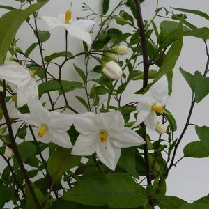 Solanum Jasminoïdes Album tipi. Le pot de 3 litres 424581