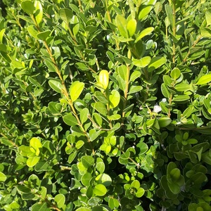 Buxus Microphylla Faulkner ou Buis 60/70 cm en pot de 15 L 425764