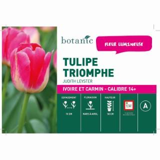 Bulbe tulipe triomphe judith leyster ivoire botanic® en vrac 431243
