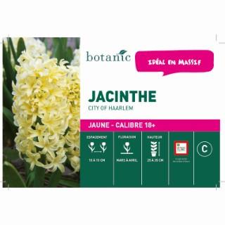 Bulbe jacinthe city of Haarlem jaune botanic® en vrac 431253