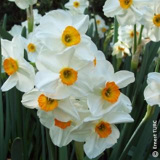 Bulbe narcisse à bouquet géranium blanc et or botanic® en vrac 431264