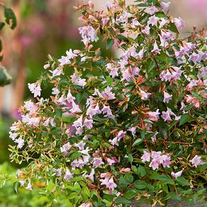 Abelia Grandiflora Edward Goucher en pot de 3 litres 437350
