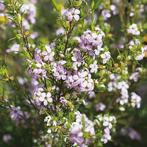 Diosma varié rose en pot de 3 L 437361