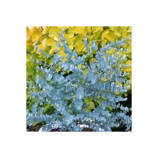 Eucalyptus Gunnii Azura bleu en pot de 10 L 437655
