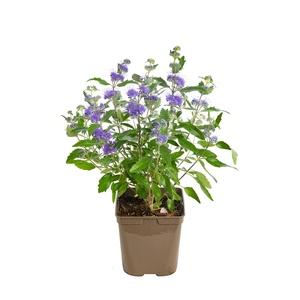 Caryopteris Clandonensis Grand Bleu Touffe 437623