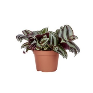 Tradescantia mix en pot Ø 6 cm 440366