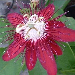 Fleur de la passion. Le pot de 2 litres 46021