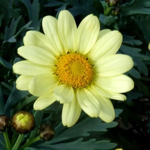 Anthémis jaune. Le pot de 9x9 cm 442650
