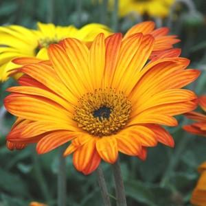 Arctotis Orange. Le pot de 9x9 cm 442655