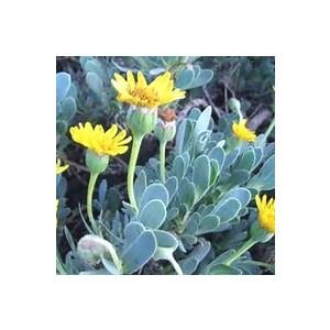 Othonopsis Jaune. Le pot de 9x9 cm 442923