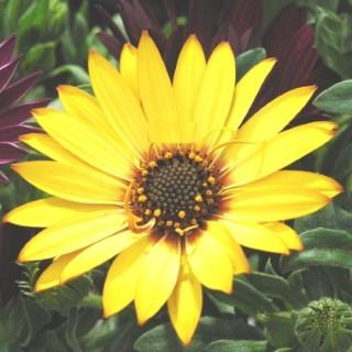 Osteospermum Jaune. Le pot de 9x9 cm 442955