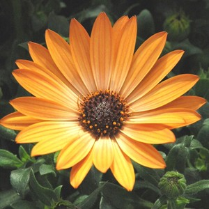 Osteospermum Orange. Le pot de 9x9 cm 442960