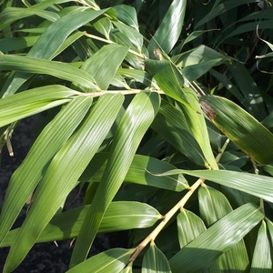Bambou Arundinaria Metake Vert 175/200 cm en pot de 10 L 445038