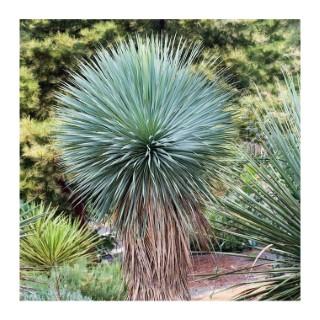 Yucca Rostrata - pot 15 L 445708
