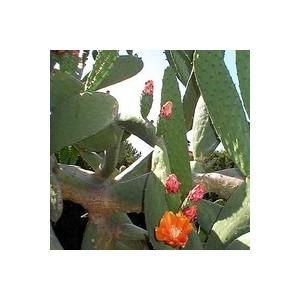 Opuntia Vulgaris ou Figuier de Barbarie en pot de 9 L 396925