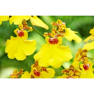 Orchidée Oncidium 445882