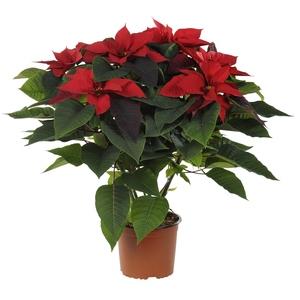 Poinsettia paillette rouge en pot Ø 17 cm 447366