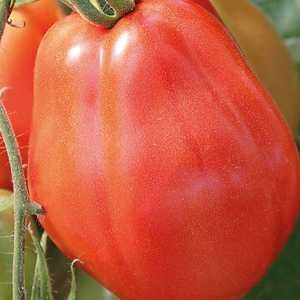 Tomate côtelée Corazon Greffée. Le pot de 1 litre 447471