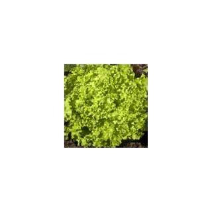Laitue Pommée Etincel. La barquette de 12 plants 974989