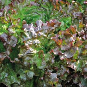 Laitue Batavia Rouge Amboise. La barquette de 12 plants 447438