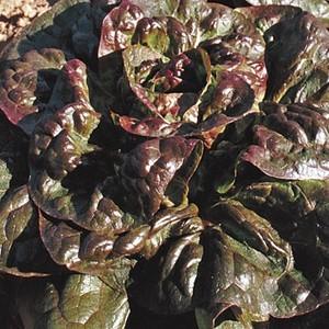 Laitue Rougette Du Midi. La barquette de 12 plants 110656