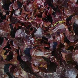 Laitue Feuille De Chêne Rouge Alezan. La barquette de 12 plants 109560