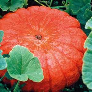 Courge Rouge Vif D'Etampes bio. Le pot compostable de 10.5 cm 447495