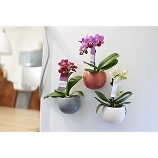 phalaenopsis baby cache pot magn tique orchid es maison botanic. Black Bedroom Furniture Sets. Home Design Ideas