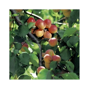 Abricotier Rouge Du  Roussillon forme gobelet 45084