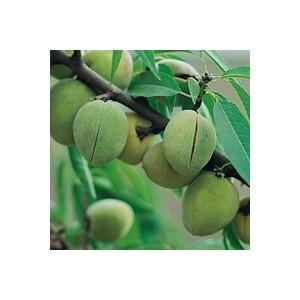 Amandier Ferragnes ®. Le pot de 12 litres, forme gobelet 45087