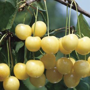 Cerisier Big. Starck Gold. Le pot de 12 litres, forme gobelet 45094