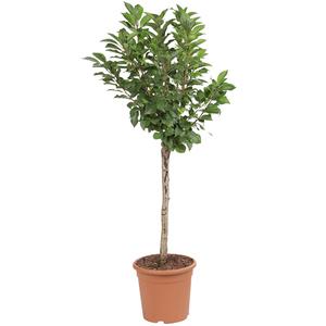 Cerisier Griotella Frumi nain 1/4 tige en conteneur de 7,5 L 45096